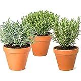 Pack de 3 Plantas Aromáticas para Cocinar: 1 Lavanda, 1 Romero y 1 Tomillo en Maceta de Cerámica