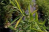 Baumschule Pflanzenvielfalt Fargesia rufa - H...Vergleich