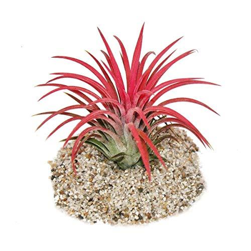 """Tillandsia ionantha \""""Fire\"""" - intensive rote Farbe"""