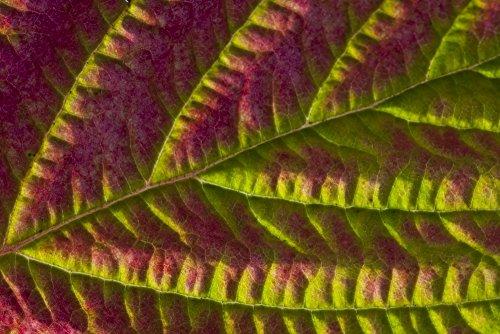 Price comparison product image Marion Owen / Design Pics – Macro View Of Salmonberry Leaf Changing Colors In Autumn Kodiak Island Southwest Alaska Fall Photo Print (43.18 x 27.94 cm)