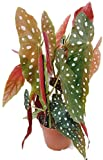 Begonia maculata'wightii' - die Forellenbegonie ist eine außergewöhnliche Zimmerpflanze und ein 'Eyecatcher' auf jedem Fensterbrett - die Begonie ist eine Rarität aus Brasilien