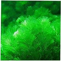 DISPLAY081000PCS misti semi di semi di erba carro armato pianta Decor acqua verde