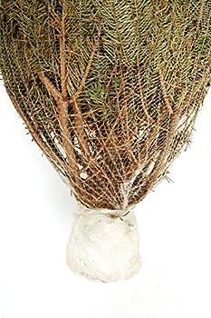 Dominik Blumen Und Pflanzen, Weihnachtsbaum Nordmanntanne, Ca. 165 - 180 Cm Hoch, Geschlagen 3