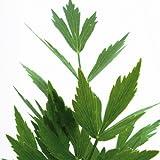 Bio Maggikraut Liebstöckel Kräuterpflanze