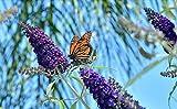 Farmerly Nuovo viola scuro farfalla Bush Buddleia Davidii Colibrì arbusto Fiore 50+ Seeds