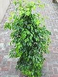 Zimmerpflanze für Wohnraum oder Büro – Ficus benjamina – Birkenfeige. Höhe 1,50m