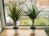 2 EVERGREEN DRAGON PLANT IN 10cm POT 40 - 45cm Tall for Your House / Office