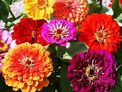 AGROBITS Flower Zinnia Mix 4 Gram ~ CA. 480 Finest See -