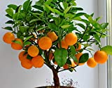 #9: Floral Treasure Dwarf Orange Seeds