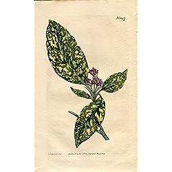 Aucuba Japonica - Japan Aucuba. Altkolorierter Kupferstich (Aus: Curtis' Botanical Magazine, No. 1197).