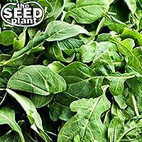 PlenTree Semillas de rúcula - 1000 semillas no OGM