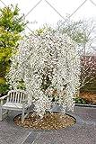 Shopmeeko 20pcs / bag Brunnen weinender Kirschbaum, DIY Familiengarten Strauchbaum Kirschbaum Pflanze, Garten Zierpflanze Bonsai: 4