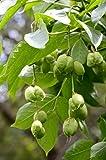 Gemeine Pimpernuss Staphylea pinnata Klappernuss Pflanze 60cm Nussbaum selten