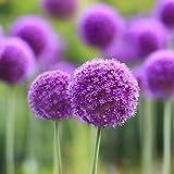 Ncient 10/20/50/100 Semi Sementi di Allium Giganteum Semi di Fiori Rari Piante Profumati per Orto Giardino Balcone Interni ed Esterni