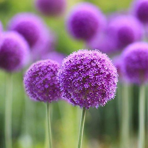 Ncient 10/ 20/ 50/ 100 pcs/ Sac Graines Semences d'Allium Giganteum Graines Fleurs Graines à Planter Plante Rare de Jardin Balcon Bonsaï en Plein Air pour l'Intérieur et l'Extérieur (100 pcs)