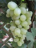 Vitis vinifera Romulus - kernlose - sehr robuste und Mehltaufeste Sorte