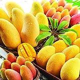 MEIGUISHA Gartensamen - Selten BIO Mangobaum Saatgut Fruchtsamen Mangifera indica veredelt Obst Samen mehrjährig winterhart auf Balkon aud Terrasse (1)