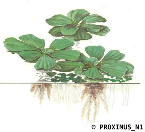 10-water-lettuce-pistia-stratiotes-dwarf-mini-live-aquarium-floating-plants