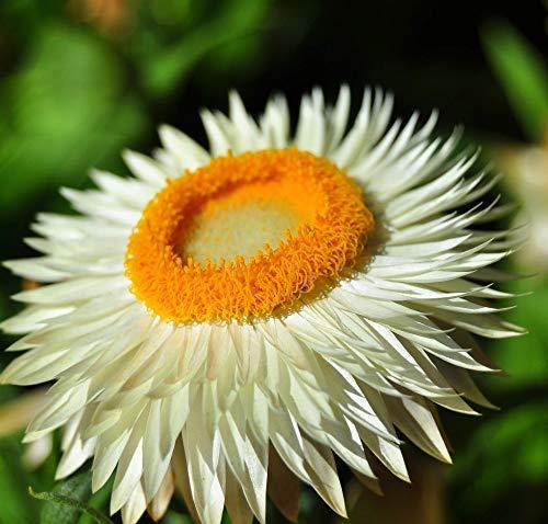 MEIGUISHA Gartensamen - Raritäten Strohblumen Samen Gefüllte Mischung Blumensamen Winterhart Mehrjährig, Ideal Für Schnitt- Und Zur Trockenbinderei (50,Weiß)
