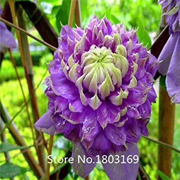 ion Heute (100 Stücke/Los) Reben, Samen Blumen, Clematis Hybridas, Clematis Samen, Liebe-Bienen. MixColors ()