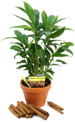 zimt-aroma-elettaria-cardamomum-2-pflanzen
