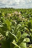 Seedeo Virginischer Tabak (Nicotiana tabacum) 300 Samen