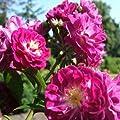 Perennial Blue® ADR Kletterrose Ramblerrose von Weber-Rosen auf Du und dein Garten