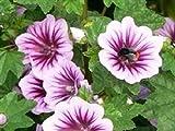 Portal Cool Flower - Malva sylvestris - Zebrina - 55 Samen