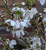 Geschlitzte Zierkirsche Kojou no mai 60-80cm - Prunus incisa