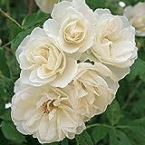 Kordes Rosen Strauchrose, Schneewittchen, blendend reines schneeweiß, 12 x 12 x 40 cm, 109-31