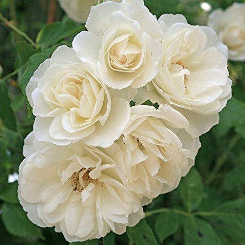 kordes-rosen-strauchrose-schneewittchen-blendend-reines-schneeweiss-12-x-12-x-40-cm-109-31