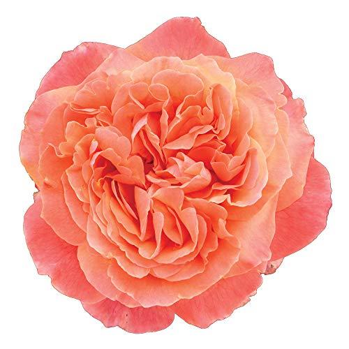 Etrusca, rosaio vivo Rose Barni, rosa in vaso colore arancio albicocca linea prestigio, Gran premio di Barcellona 2005, ideale per coltivazione in vaso e cespugli, rifiorente e robusta cod.71109