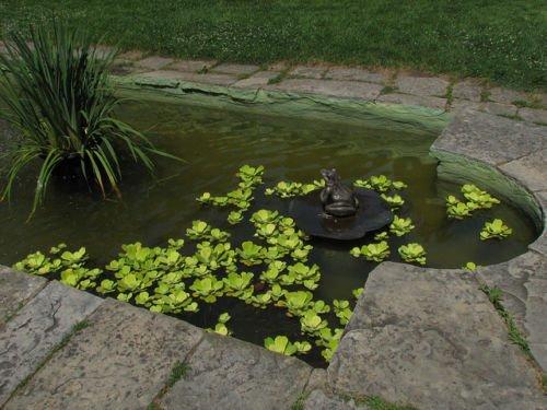 Agua Lechuga–flotante viven las plantas de acuario plantas Inc