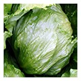 Eisbergsalat - Crisphead (200 Samen)