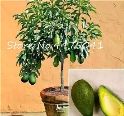 pinkdose nuovo 5 pz avocado bonsai, albero da frutto nano molto delizioso dolce frutta biologica pianta in vaso vegetale fai da te giardino domestico facile da coltivare: 13