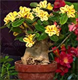 2 PC / bag Desert Rose Samen adenium obesum Samen Bonsai Blumensamen Doppel Petals Topfpflanze für Hausgarten 100% echtem Samen