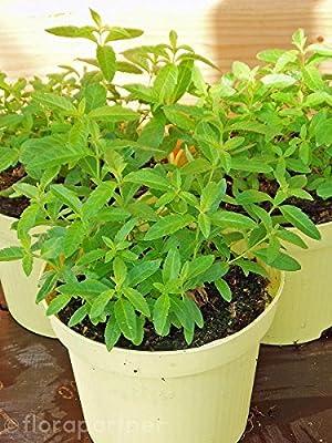 Zitronen Verbene Lippia citriodora Tolle Tee Kräuterpflanze!!! 1stk. von Florapartner bei Du und dein Garten