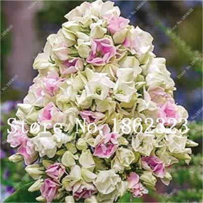 prime vista Kaufen Sie Phlox Flower Semente 100 Stück Bonsai Pflanze Phlox Blume Phlox Drummondii leuchten Ihr persönliches Haus Garten: 17