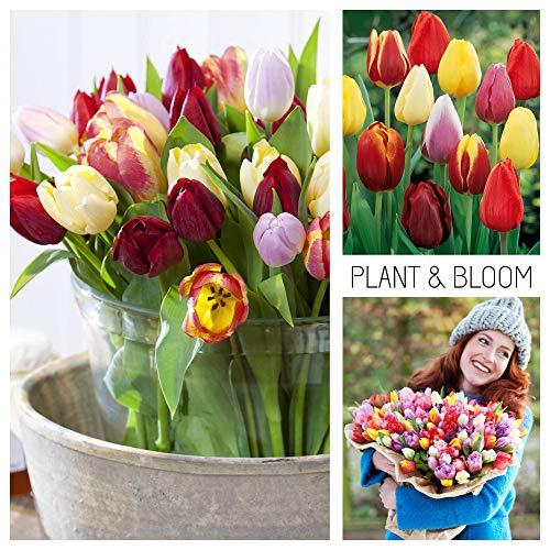 plant & bloom - bulbi da fiore, tulipani trionfo dall'olanda - 35 bulbi, semina autunnale, facile da coltivare, fioritura primaverile - rosa, gialli e rossi - qualità superiore olandese