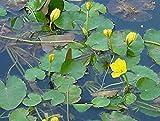 1 St. Seekanne (Nymphoides peltata)Teichpflanze Teichpflanzen Schwimmpflanze Teich