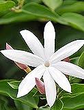 Imposes Jasmin Samen Duft Blumen Mehrjährig Pflazen Samen Weiße Blumensamen 7 Vielfat Indoor Outdoor Balkon Garten Traresse 10 Samen