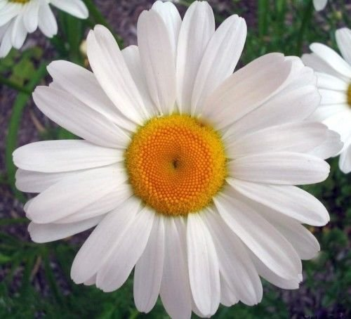 Ox Eye Daisy Samen, Erbstück Gänseblümchen, Ox Eye Gänseblümchen, Erbstück Wildblume, 75ct (Ox Eye Daisy)
