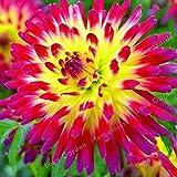 Shopmeeko Vente chaude Multicolores Bulles De Dahlia Belle Plante Vivace Dahlia Bulbes De Fleurs Bonsaï Plante DIY Maison Jardin: 1...