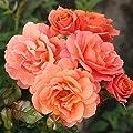 Kordes Rosen Strauchrose, Lambada, orange, 12 x 12 x 40 cm, 103-31 von W. Kordes' Söhne bei Du und dein Garten