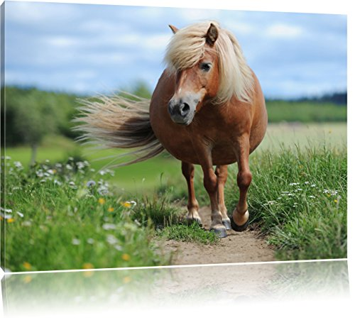 Shetland Pony nel prato, formato: 120x80 su tela, XXL enormi immagini completamente Pagina con la barella, stampa d'arte sul murale con telaio, più economico di pittura o un dipinto a olio, non un manifesto o un banner,