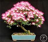 Fash Lady Große 20 Stück/Pack Bonsai Albizia Blumengarten, Genannt Mimosa Silk Baum, Plantas für Blume topfpflanzen, H0TOSO