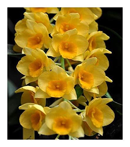 Dendrobium griffithianum - orchidées - 100 graines