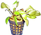 Aquariumpflanzen Cryptocoryne wendtii braun, Wasserpflanzen