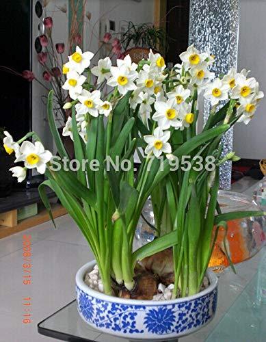 GEOPONICS SEEDS: Daffodi, Narzisse Bonsais, Narcissus Bonsais, Cl Luft, vergossen Desktop-Pflanzen - 20pcs Narcissus tazetta Bonsais
