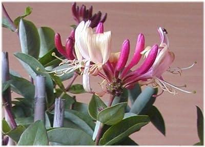 Wald Geißblatt Serotina, Lonicera periclymenum Serotina 80 cm hoch im 3 Liter Pflanzcontainer von Plantenwelt Wiesmoor - Du und dein Garten